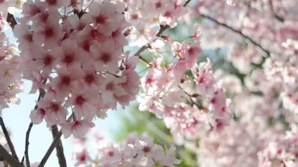 Sakura Třešňové květy