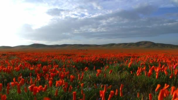 Kalifornie kytice makové pole