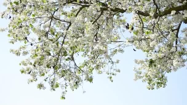 Sakura-Třešňové květy