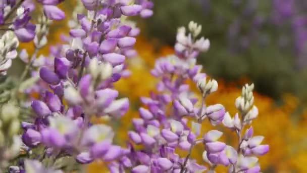 Kalifornie divoké květy vlčího bobu