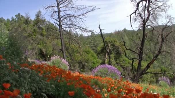 Kalifornie divoké květy máku