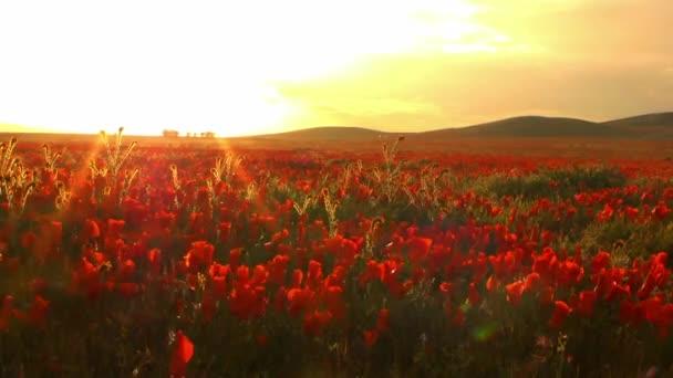 Kalifornie divoké květy máku pole při západu slunce