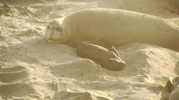 Elephant Seals Colony