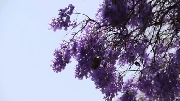 jacaranda strom