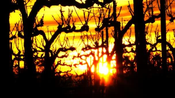 vinice západ slunce