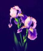 Fotografia fiori di Iris isolati