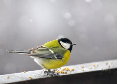 Bird eaten the grain in the winter