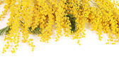 Fotografie Yellow mimosa  isolated on white background