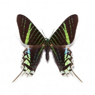 Urania leilus butterfly