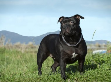 English staffordshire bull terrier.