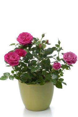 Miniature Rose house plant