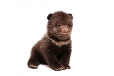 Brown Bear cub (Ursus arctos), on white