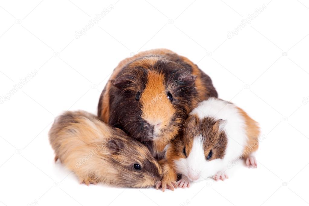 Three Guinea Pigs