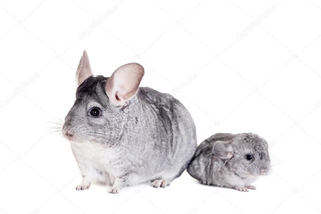 Chinchilla with babies on white