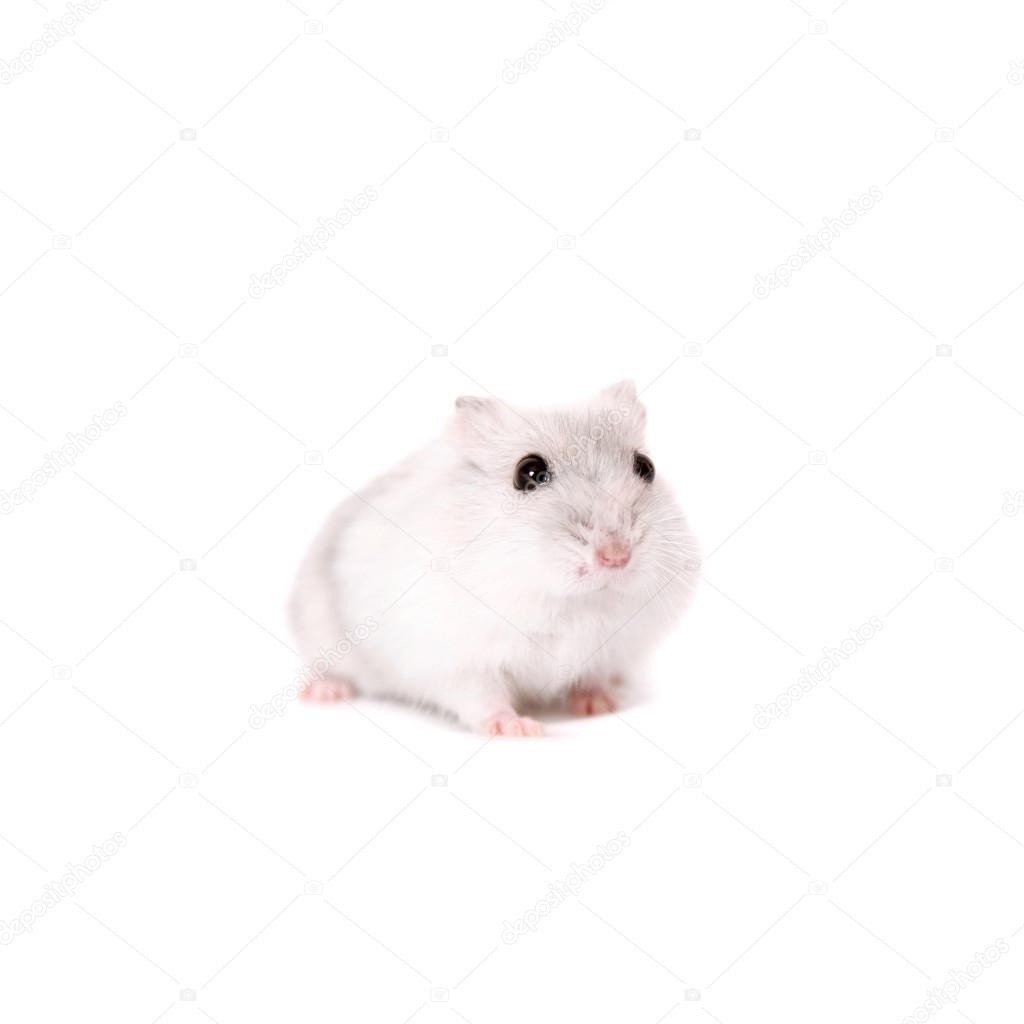 Djungarian Hamster, Phodopus sungorus, baby