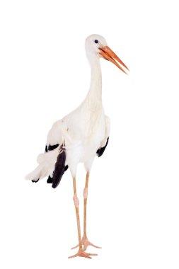 White Stork on white.