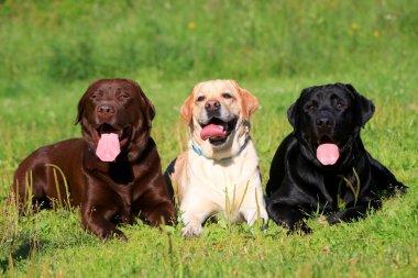 Three Labrador Retriever dogs on the grass