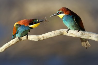 Courting Male & Female European Bee-eater (Merops apiaster)