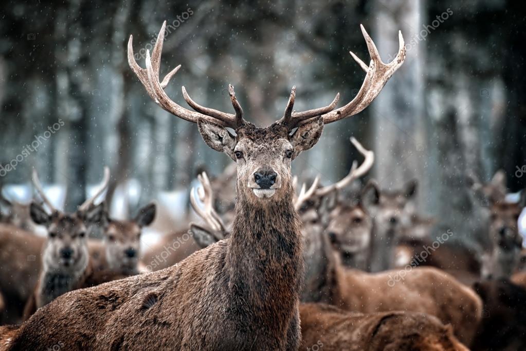 Red Deer Stag and Herd (Cervus elaphus) in the Scottish Winter Snow