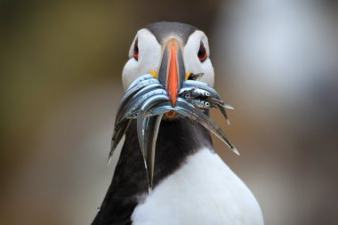 Atlantic Puffin (Fratercula arctica) with sand eels in its beak