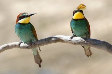 Male & Female European Bee-eater (Merops apiaster) perched on a branch. Male passes female a Clouded Yellow Butterfly gift during courtship