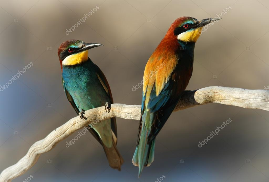 Male & Female European Bee-eater (Merops apiaster) perched on a branch