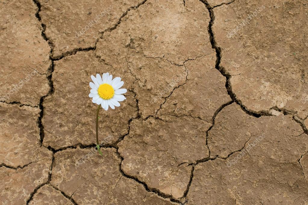 Flor Da Margarida No Deserto Fotografias De Stock Masik0553