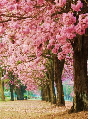 Pink flower trees is  romantic