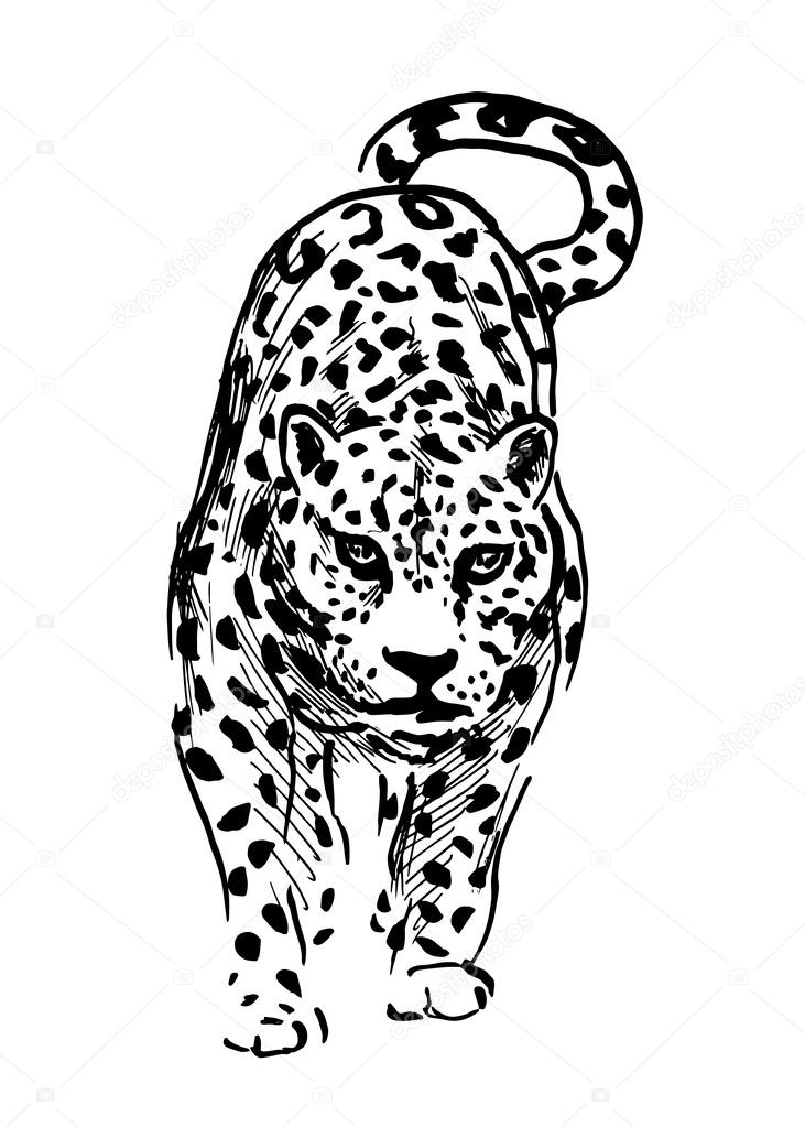 hand drawing jaguar vector illustration vector by onot