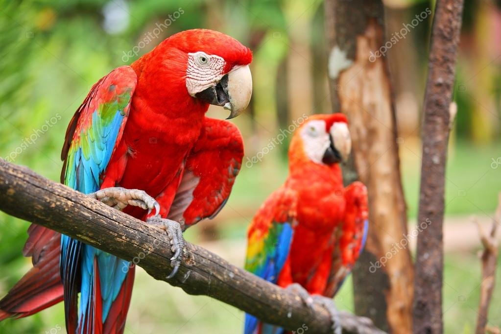 Parrot: scarlet macaw