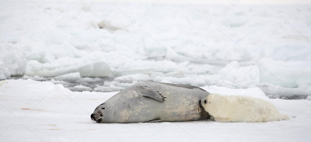 Mother harp seal cow and newborn pup