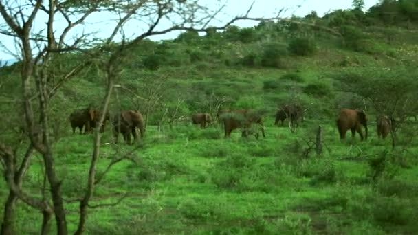 stádo afrických slonů v trávě savannah krmení