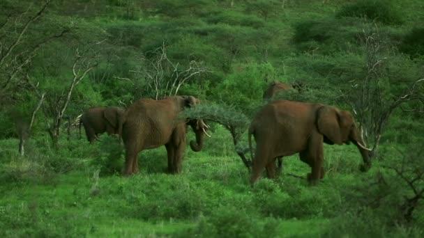 mandria di elefanti africani in erba savana alimentazione