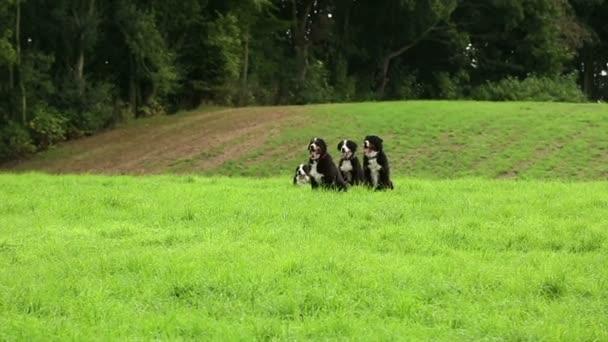 Bernese Mountain Dogs running