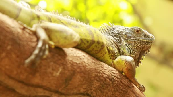 Lizard or iguana in the forest