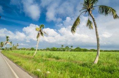 Caribbean sugar cane plantations in Dominican Respublic