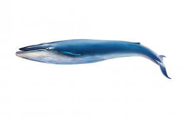 Blue whale isolated on white background
