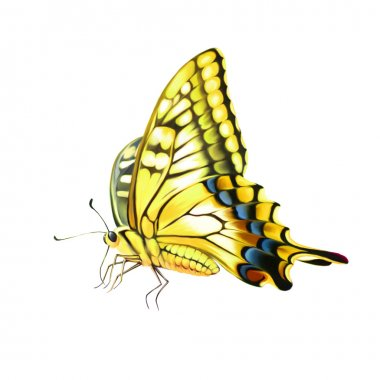 Old World Swallowtail  butterfly. Isolated on a white