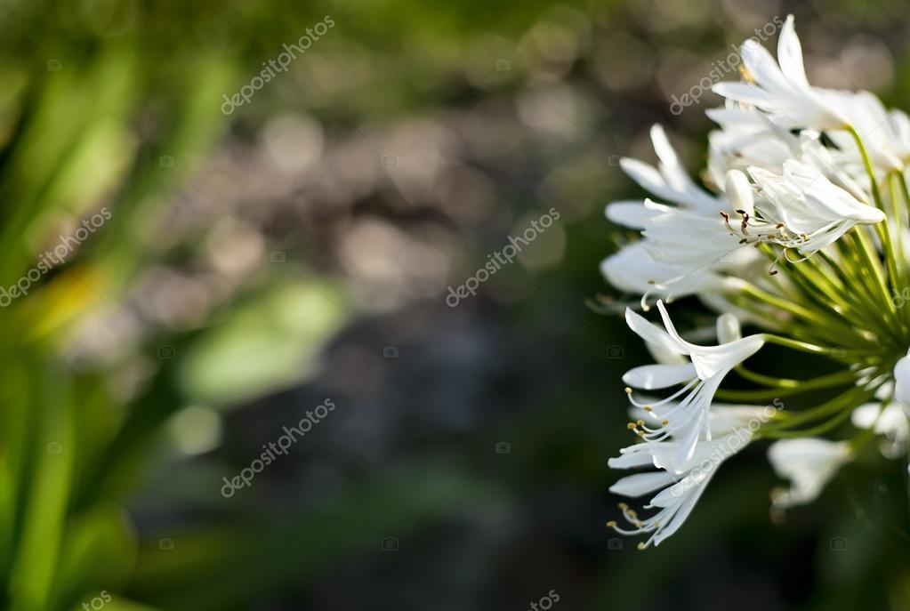 kleine weiße Blumen, Blumen Hintergrund — Stockfoto © artnature ...