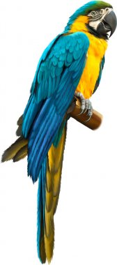 Colorful blue parrot macaw