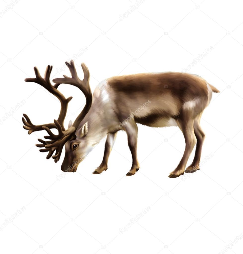 Illustration of musk-ox isolated on white background