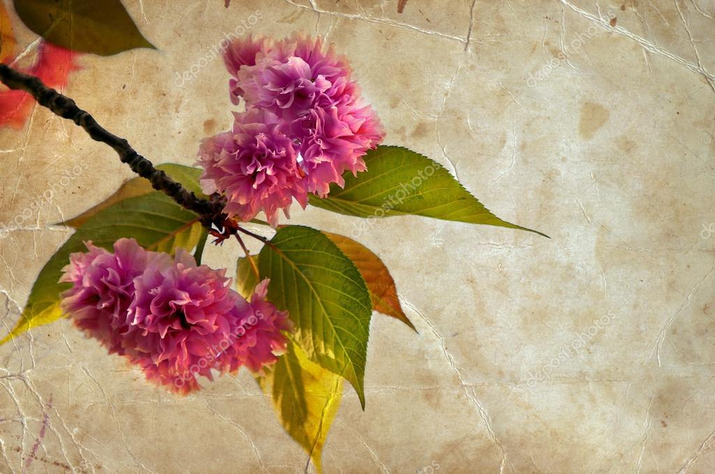 Beautiful cherry tree flowers