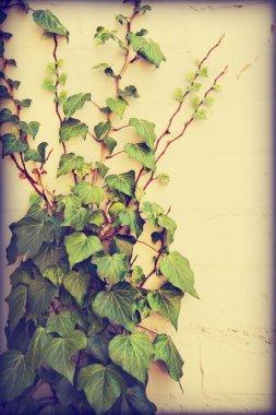Bindweed plant