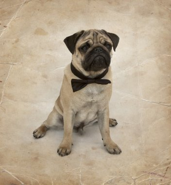 Pug puppy with bow tie