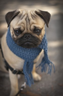 Pug puppy dog with blue scarf
