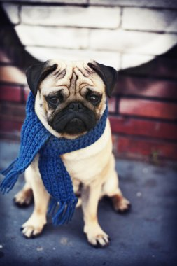 Pug puppy dog with blue scarf