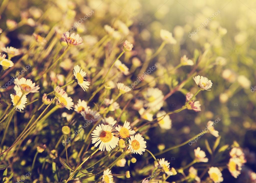 Field of little chamomile flowers