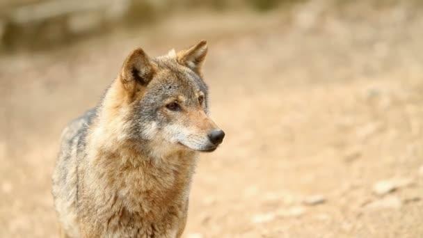 Divoký vlk