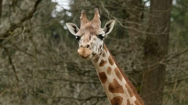 žirafa jíst