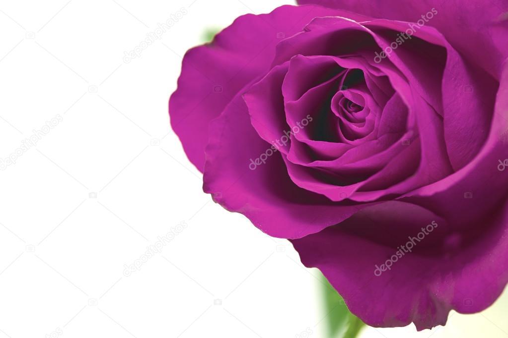 Fleur Rose Pourpre Photographie Izelphotography C 50413937